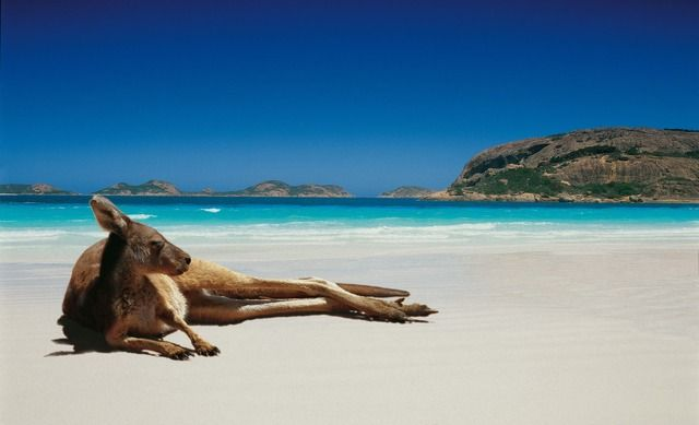 austrália cangurus