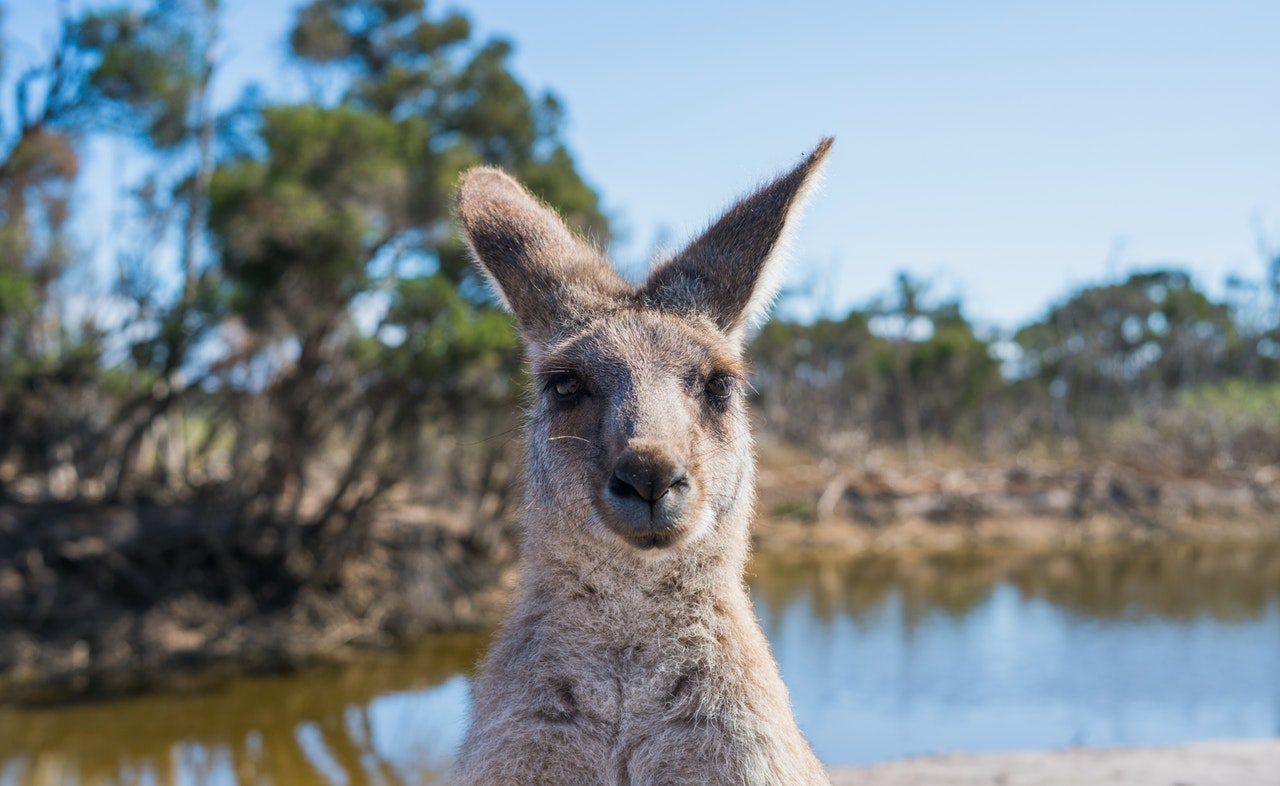canguru na natureza